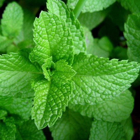 the peppermint mentha piperita history essay History: greek mythology claims the god pluto was in hot pursuit of the sexy nymph mentha when his wife, persephone, found out, pluto turned mentha into an herb traces of peppermint have been found in egyptian tombs from as far back as 1,000 bc, while the romans used the herb as a digestive.